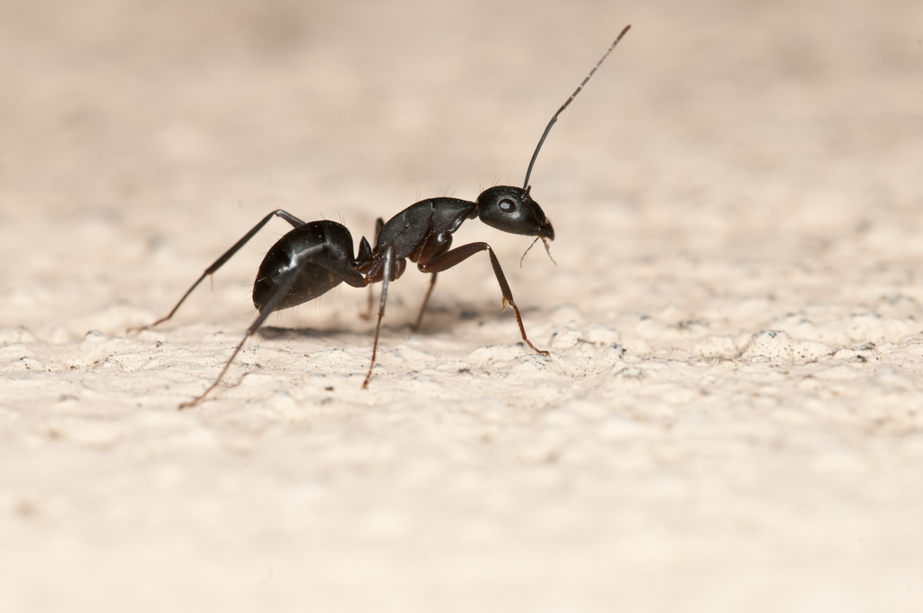 Black Ants In Kitchen In Winter