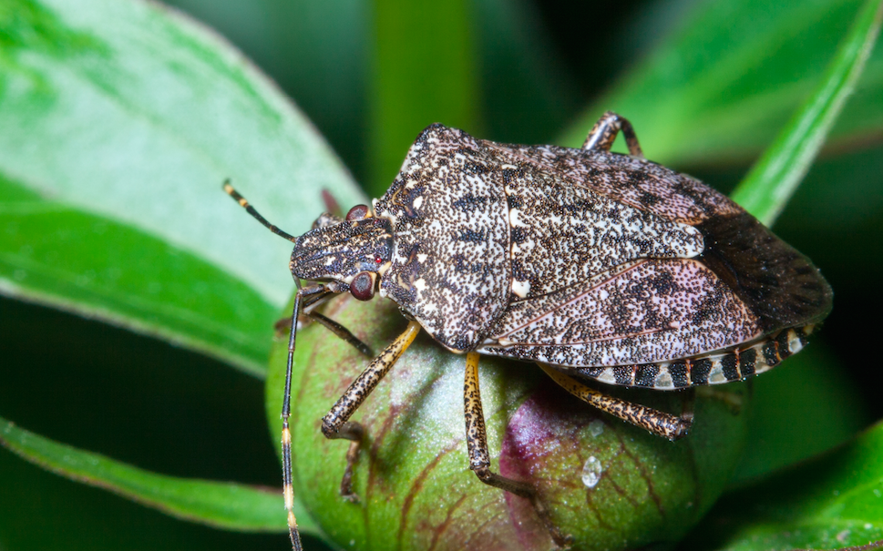Missouri\'s New Invader: Brown Marmorated Stink Bug |